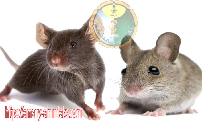 افضل شركة مكافحة الفئران بالطائف