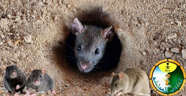 افضل شركة مكافحة الفئران بالخرج